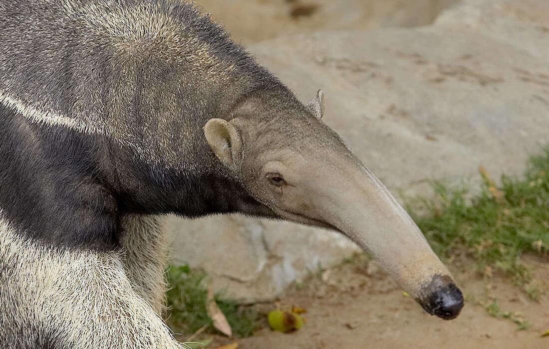 giant_anteater_adult_0.jpg